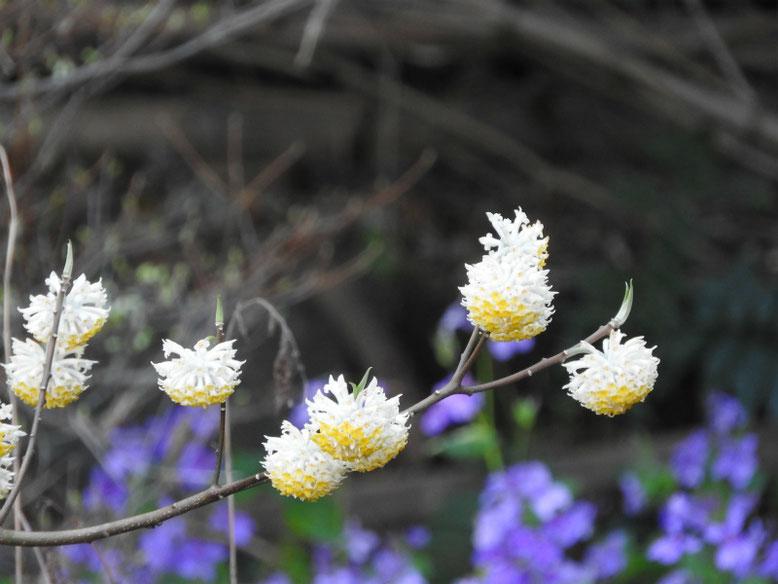 三椏の花(みつまた) 散策路 2021/03/24撮影
