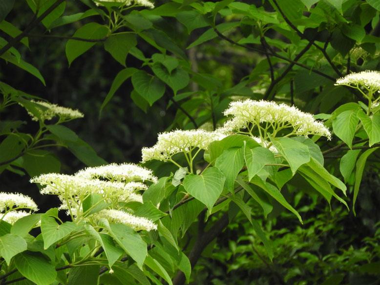 水木の花(みずき) 散策路 170509撮影