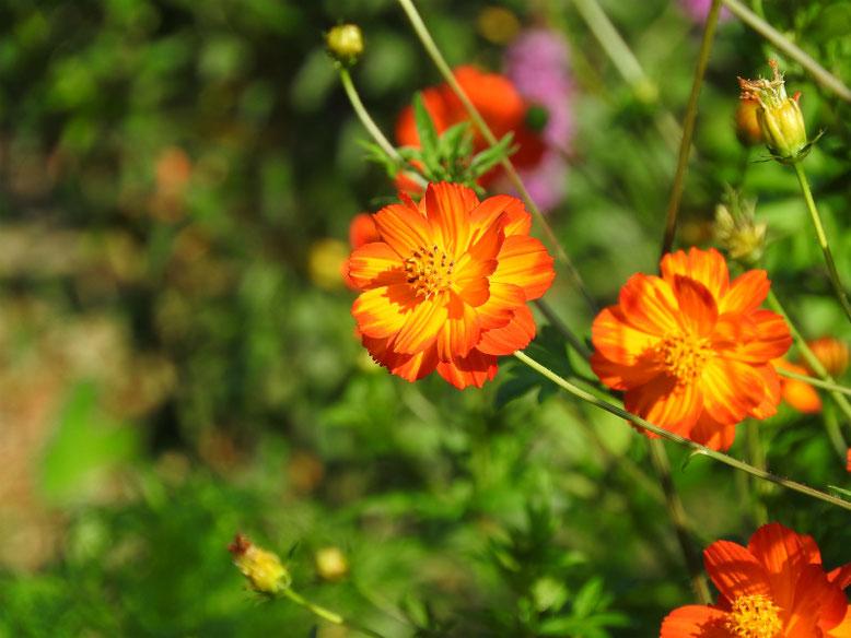 黄花コスモス(きばなこすもす)少し赤 散策路 170715撮影