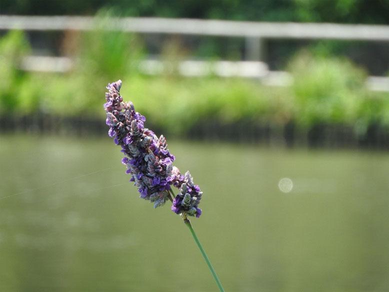 水カンナ 三溪園 170620撮影