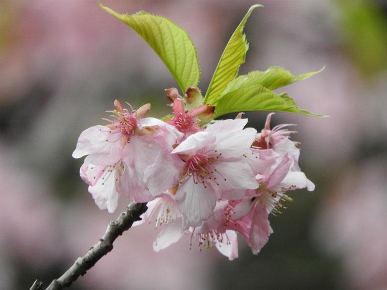 河津桜(かわずざくら) 散策路 180311撮影
