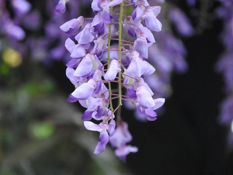 藤の花(ふじ) 鎌倉光則寺 160429撮影
