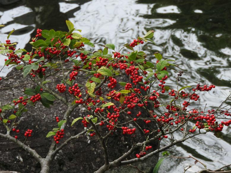 梅擬(うめもどき) 長谷寺庭園池 171005撮影