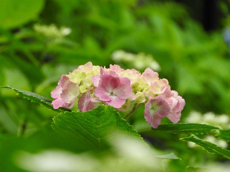 紫陽花(あじさい) 鎌倉長谷寺 2017/06/15撮影