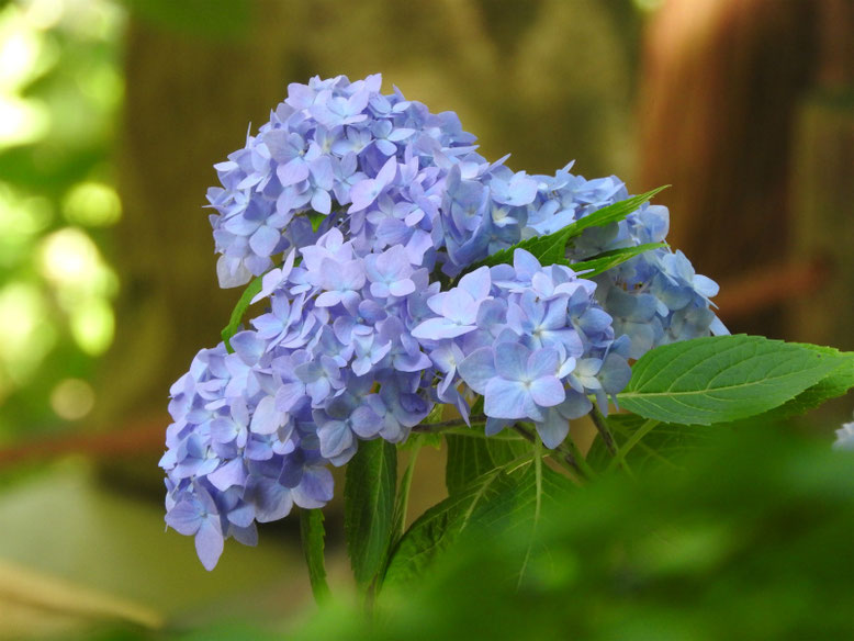 紫陽花(あじさい) 北鎌倉明月院 170602撮影