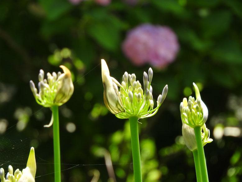 紫君子蘭(むらさきくんしらん)英勝寺 180608撮影