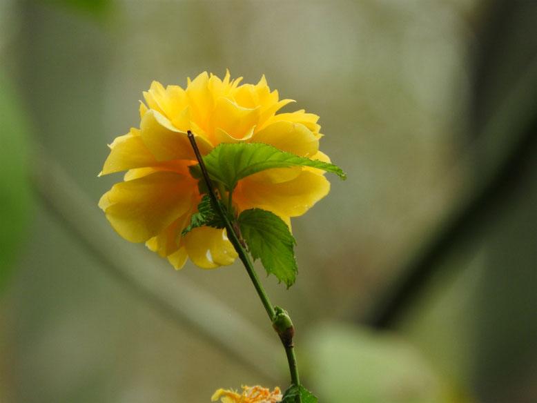 山吹(やまぶき) 八重咲き 散策路 170421撮影