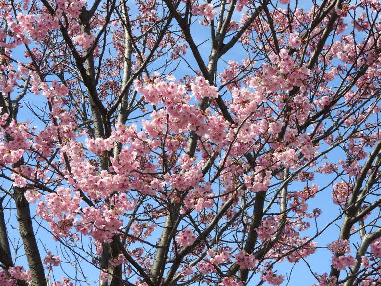 陽光桜(ようこうざくら) 散策路公園 2020/03/15撮影