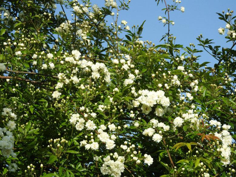 木香薔薇(もっこうばら)白色 散策路 2021/04/11撮影