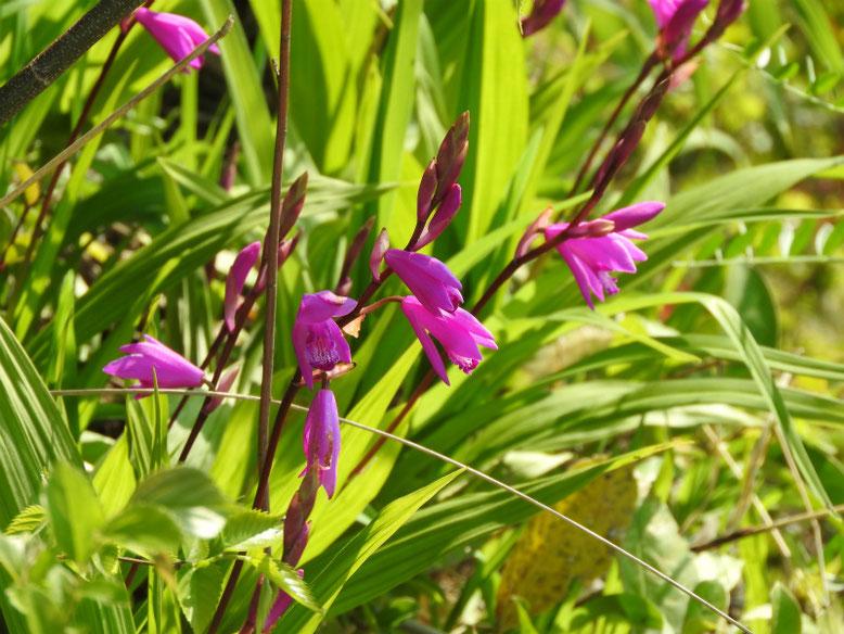 紫蘭(しらん) 散策路公園 2020/04/08撮影