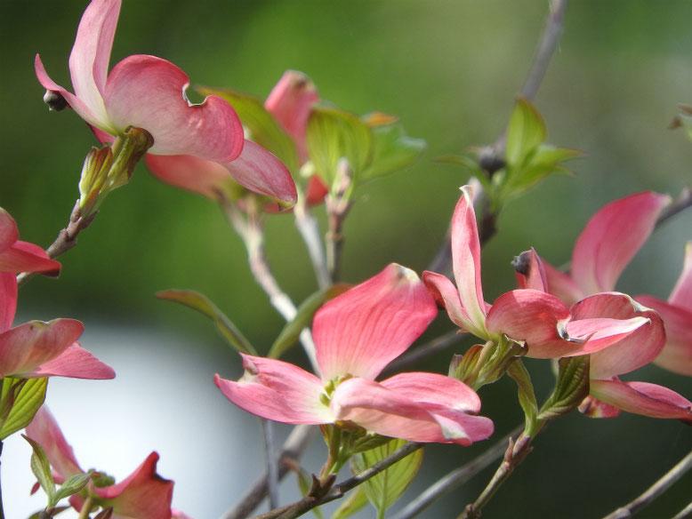 花水木(はなみずき) 散策路 160418撮影