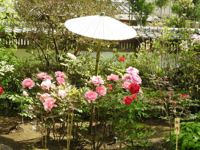 牡丹(ぼたん) 鎌倉長谷寺 170428撮影