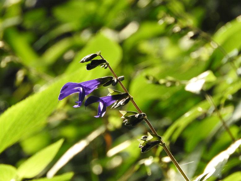 青紫ハーブセージ 散策路 2019/07/29撮影
