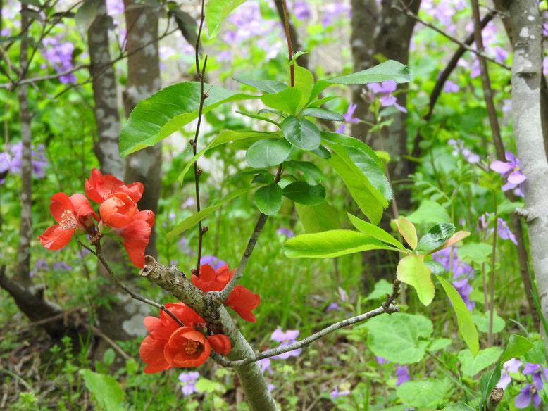 緋木瓜の花