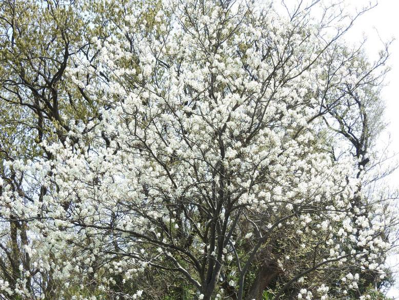 西洋采振り木(せいようざいふりぼく)散策路 180331撮影