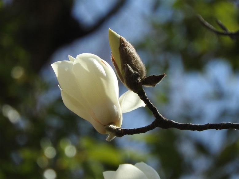 白木蓮(はくもくれん) 散策路 180314撮影