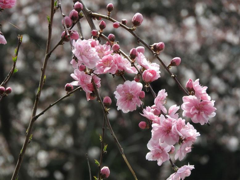 桃の花(もものはな) 散策路 180324撮影