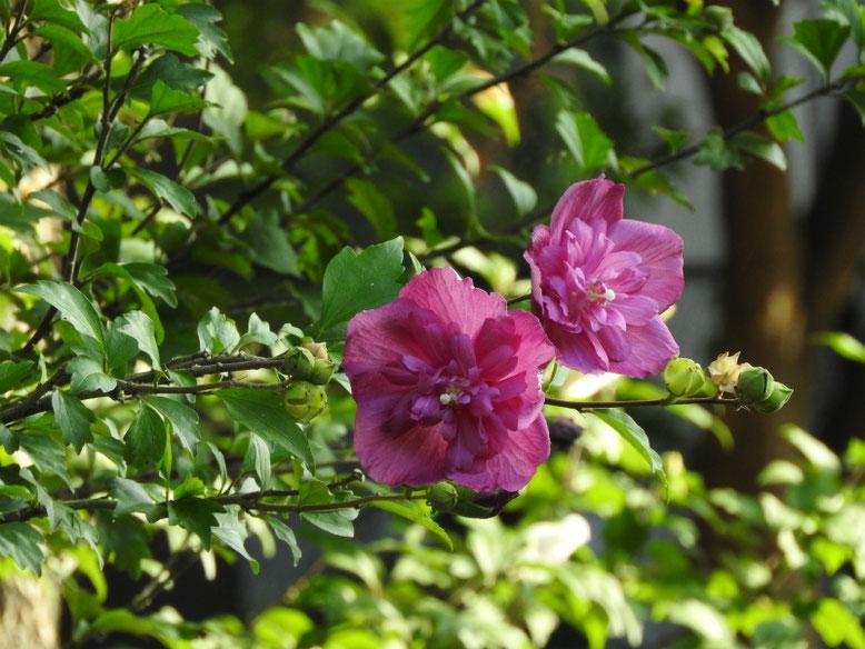 木槿(むくげ) 八重咲き ピンク 散策路 170715撮影