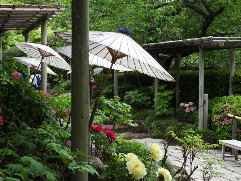 牡丹(ぼたん) 鎌倉牡丹庭園 160429撮影