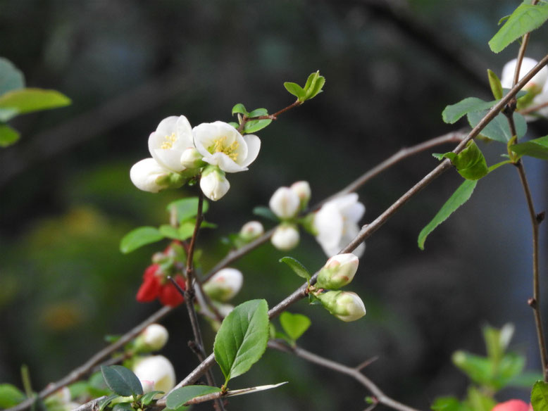 木瓜の花(ぼけのはな) 親水緑道 2021/03/18撮影