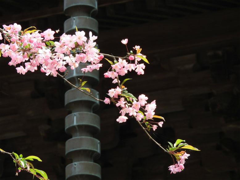 海棠の花(かいどう) 鎌倉妙本寺 160409撮影