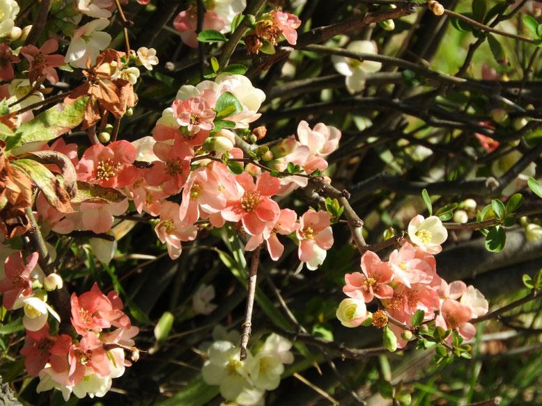 木瓜の花(ぼけのはな)散策路 180317撮影