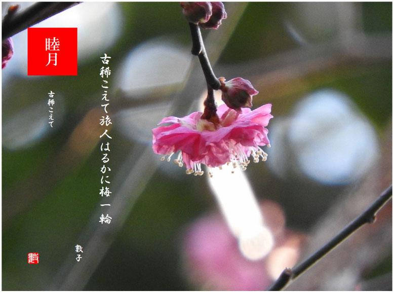 古稀こえて 2020/01/25作句  親水緑道の紅梅2020/01/20撮影