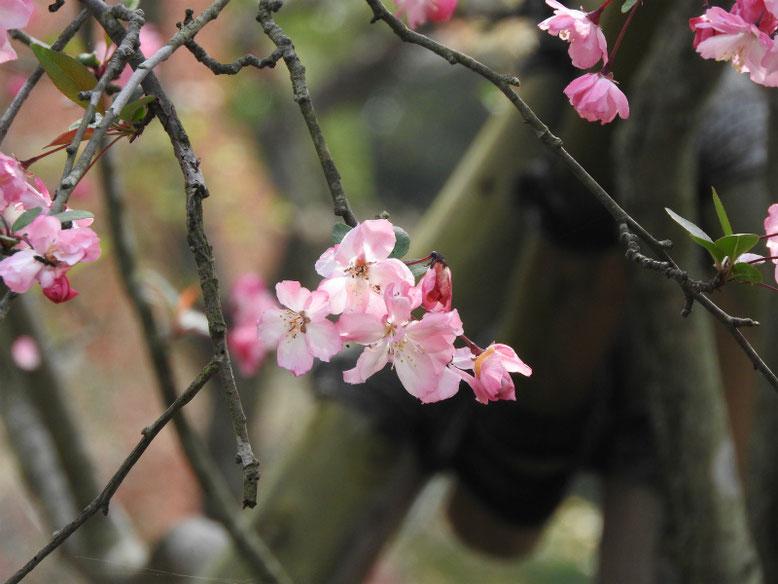 海棠の花(かいどう) 鎌倉海蔵寺 160409撮影