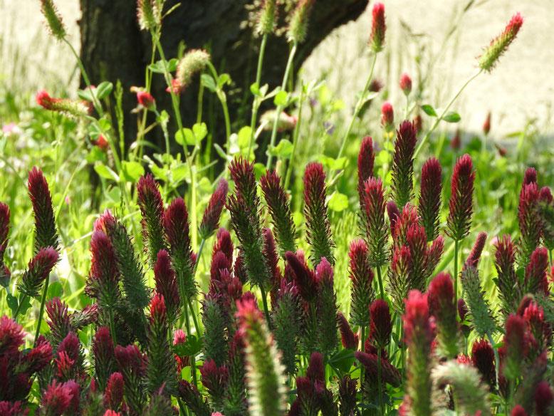 紅花詰草(べにはなつめくさ)散策路180428撮影