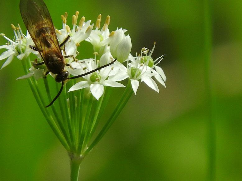 韮の花(にら) 散策路 160926撮影