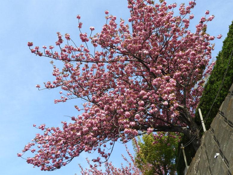 八重桜(やえざくら) 散策路 2019/04/20撮影