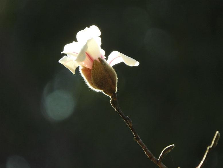 辛夷(こぶし) 緑道公園 2021/03/10撮影