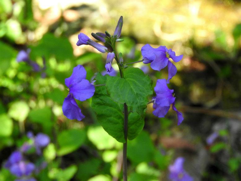 紫花菜(むらさきはなな) 親水緑道 2020/03/11撮影