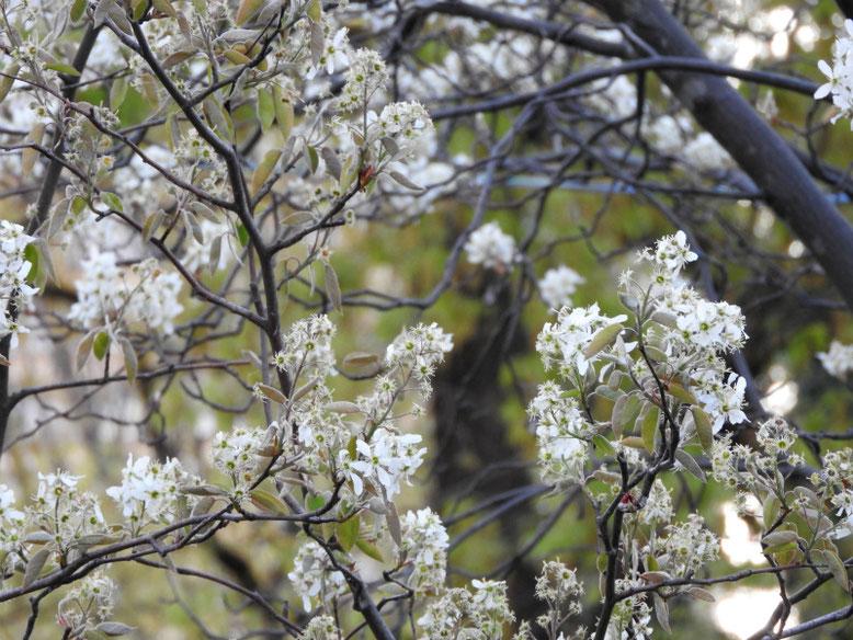 西洋采振り木(せいようさいふりぼく) 散策路公園 2020/04/06撮影