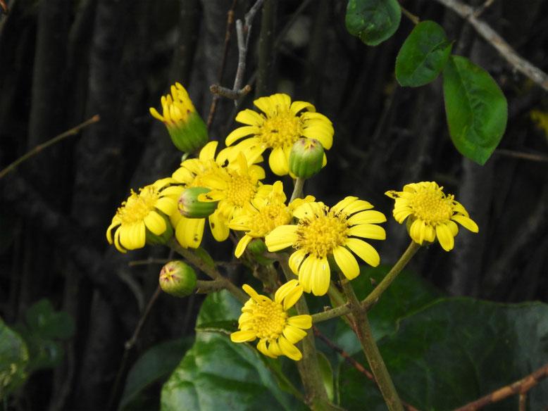 石蕗の花(つわぶき) 散策路 171115撮影