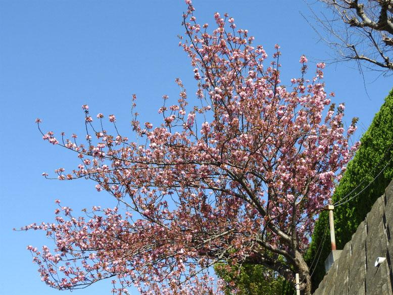 八重桜(やえざくら) 散策路 170420撮影