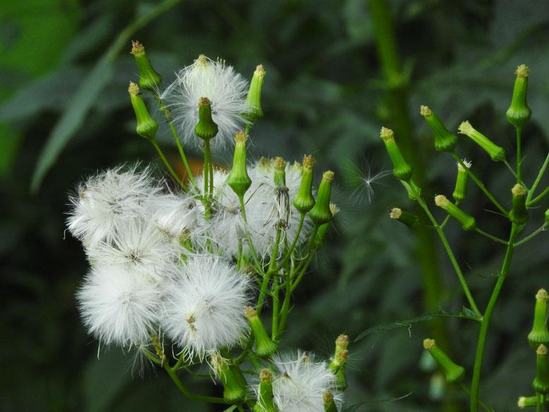 春の野芥子の綿毛(のげし) 散策路 160927撮影