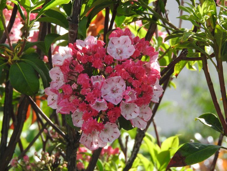カルミア(アメリカ石楠花) 散策路 2019/05/22撮影