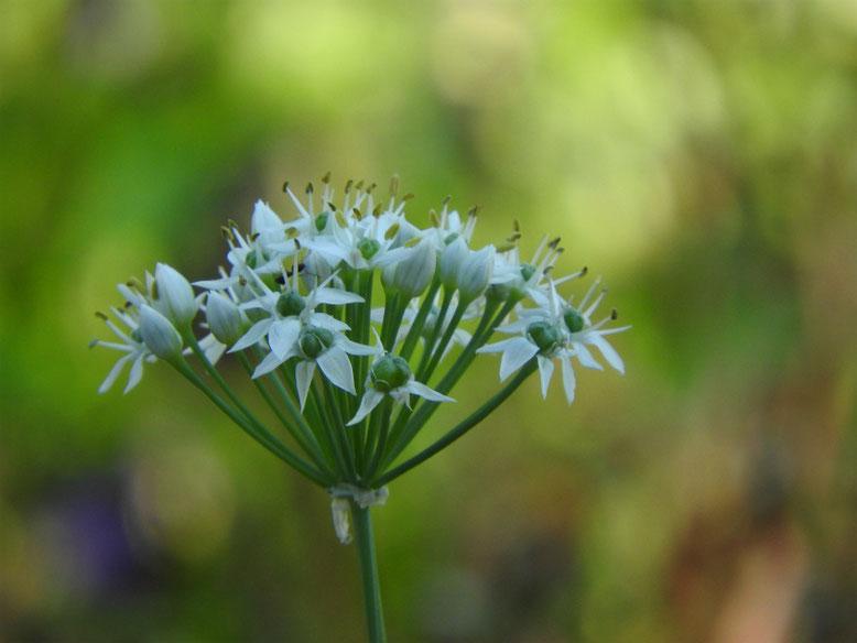 韮の花(にらのはな) 散策路 180928撮影