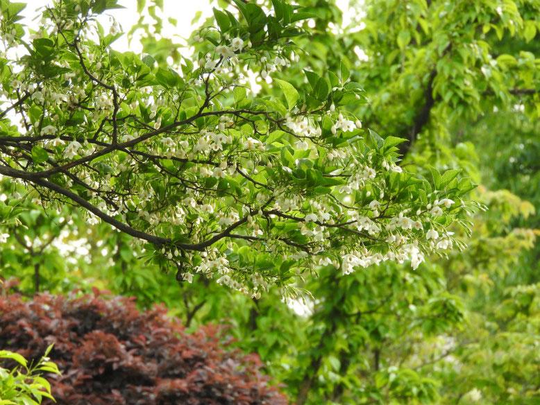 萵苣の木(ちしゃのき) エゴノキ 散策路 2019/05/11撮影
