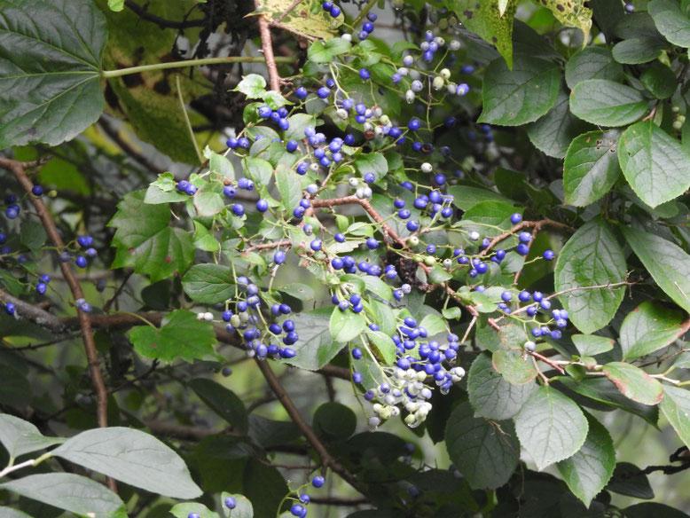 沢蓋木の青い実(サワフタギ) 親水緑道 2020/08/23撮影