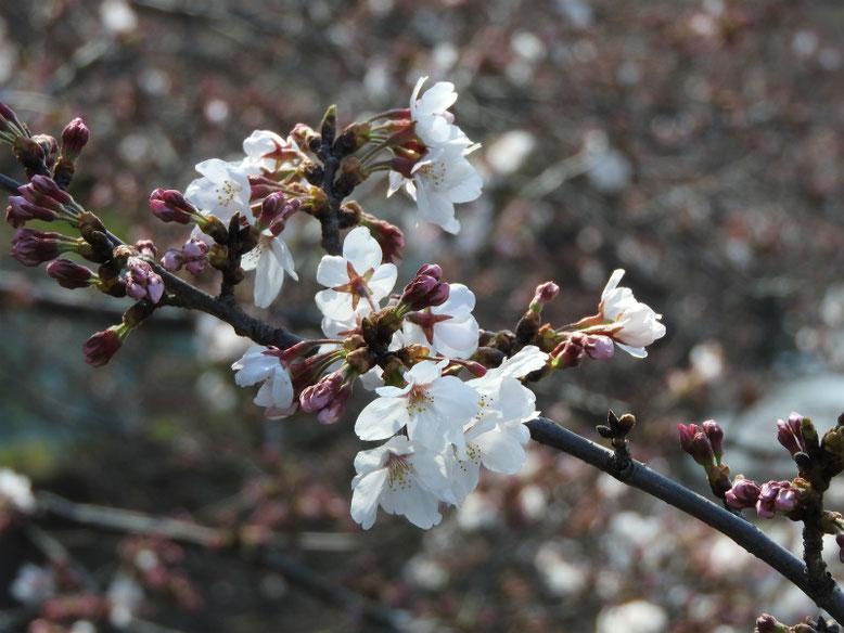 寒桜(かんざくら) 散策路 160329撮影