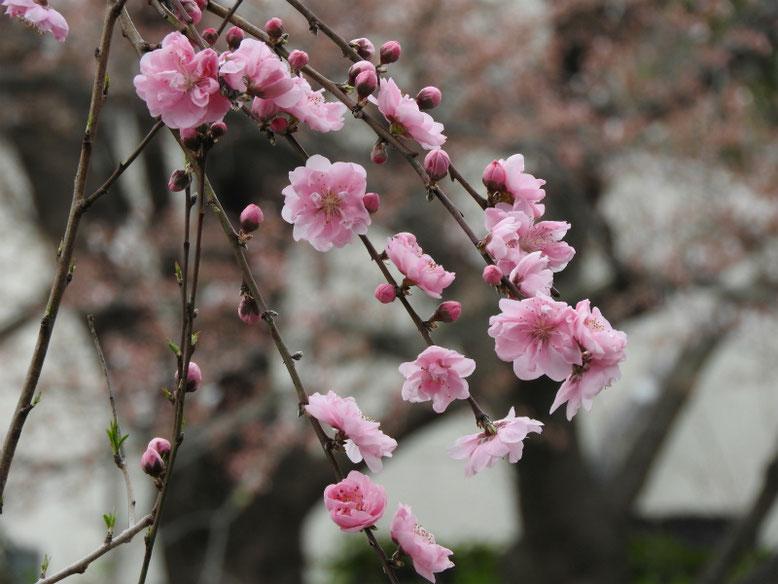 桃の花(もものはな) 散策路 180323撮影