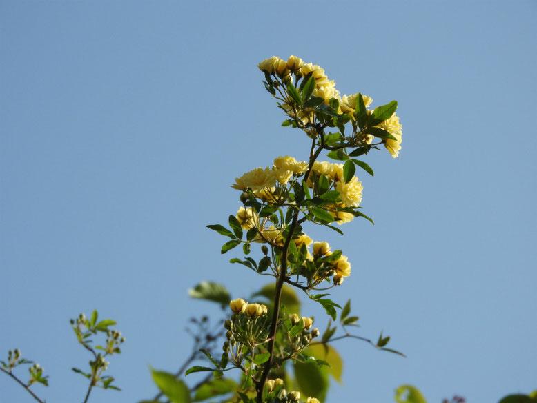 木香薔薇(もっこうばら)黄色 散策路 2021/04/03撮影