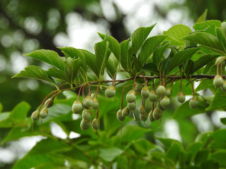 萵苣の木(ちしゃのき)エゴノキ 散策路 180430撮影