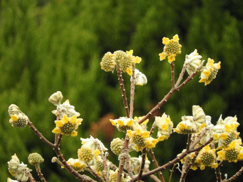 三椏の花(みつまた) 散策路 170306撮影
