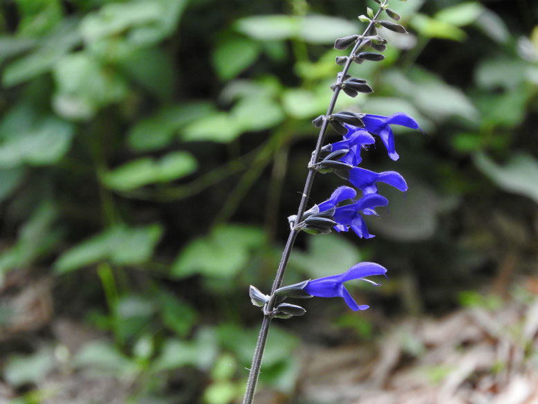 青紫ハーブセージ 散策路 170606撮影