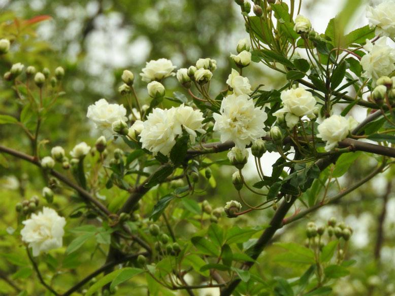 木香薔薇(もっこうばら)白色 散策路 170421撮影