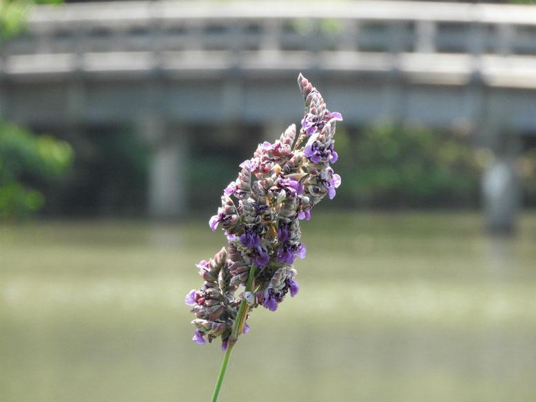 水カンナ 三溪園