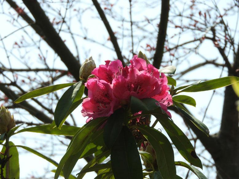 西洋石楠花(せいようしゃくなげ) 散策路 2019/03/27撮影
